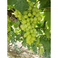 Victoria Seedless White Grape