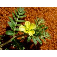Supplement tribulus terrestris extract