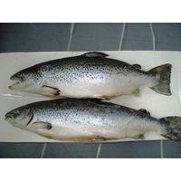 Frozen Whole Round Atlantic Salmon Fish thumbnail image
