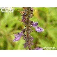 Coleus forskolin extracts 10%,20%,40%,98% Forskohlin thumbnail image