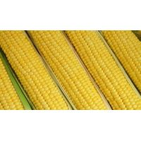 Maize thumbnail image