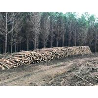 Pine Logs from Brazil