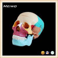 Skull chromatographic separation model head anatomy model thumbnail image