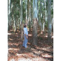 Eucalyptus Grandis Logs thumbnail image
