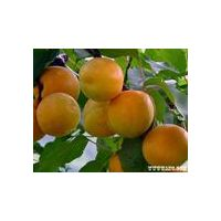 apricot juice concentrate thumbnail image