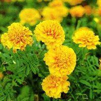 Lutein marigold oleoresin thumbnail image