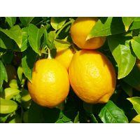 Chinese yellow lemon / fresh lemon supplier / lemon tree /lemon juice