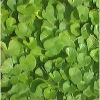 Centella asiatica (L.)  Family:APIACEAE