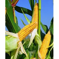 Yellow and white corn thumbnail image