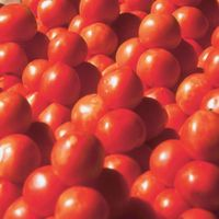 Top Quality Fresh Cherry Tomatoes/ Fresh Tomatoes