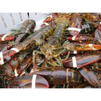hot sales lobster at affordable price