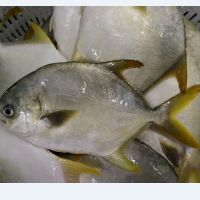 wholesale new arrival premium quality frozen fresh golden pomfret