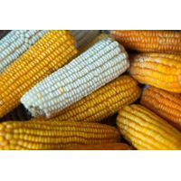 Yellow and White Maize for sale