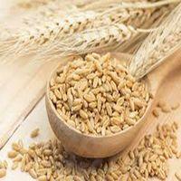 Barley for animal Feed