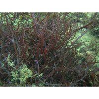 Seaweed Chondracanthus Chamissoi thumbnail image