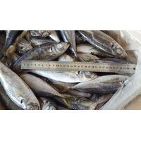 Pacific mackerel , horse mackerel , Bonito Whole round and HGT