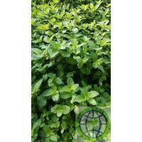Green organic fresh hurb thyme