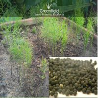 Yellow shatawari Medicinal seeds ( Asparagus racemosus. ) thumbnail image