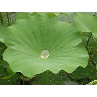 herb extract;plant extract; originherb