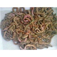 Salted lugworm, salting lugworm