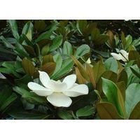 Magnolia extract Magnolol Honokiol