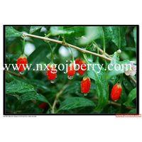 Dried Goji Berry Supply 550 thumbnail image