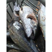 Sea-Frozen Yellowfin Tuna GG thumbnail image