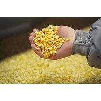 Yellow Corn FOB Novorossiysk