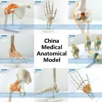 Human anatomical models Joint Skeleton