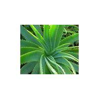 selling Aloin 15%~99% (CAS NO.1415-73-2) thumbnail image