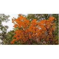 Cotinus coggygria extract thumbnail image
