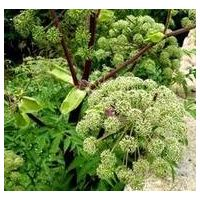 Angelica essential oil thumbnail image