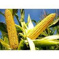 CornoilprocessingLine thumbnail image