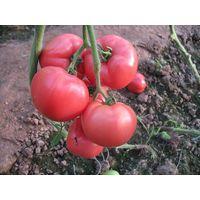T18 JP no.1 medium size f1 hybrid pink tomato seeds wholesale