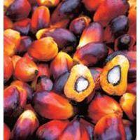 Palm olien