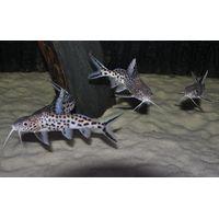 Wild Caught Altolamprologus, Callochromis, Aulonocranus, Synodontis from Lake Tanganyika