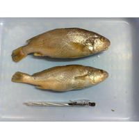 Frozen Whole round Yellow Croaker