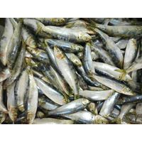 frozen sardine fish