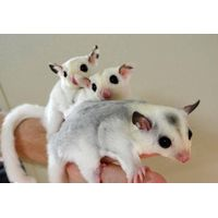 Sugar Gliders - Exotic Animals for Sale