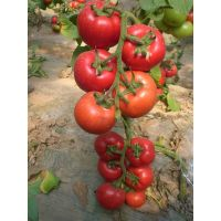 T45 Hedan TYLCV disease resistant f1 hybrid tomato seeds in vegetable seeds, greenhouse seeds for pl