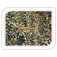Magnolia Palnt Trees Growers