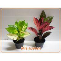 Croton 'Mrs.Iceton'