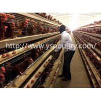 Poultry Farm Equipment A Type Layer Chicken Cages