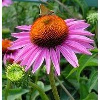 Echinacea Extract thumbnail image