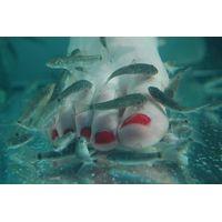 Skin Callus Remover--Doctor Fish Garra Rufa Fish thumbnail image