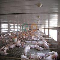 High quality automatic pig farm design floor feeding system equipment