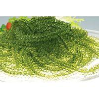 Fresh Sea Grapes - benefits for Healthy - Lona +84 397312823 thumbnail image