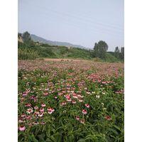 Echinacea Purpurea Extract thumbnail image