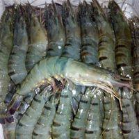 Live and frozen shrimps thumbnail image