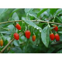 Herbs Extract,Polysaccharide Wolfberry extract thumbnail image